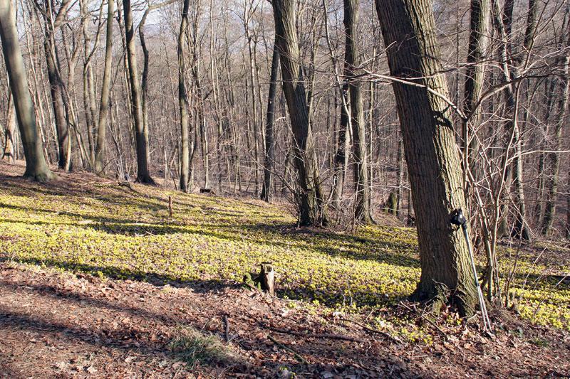 Winterlinge im Rautal in Jena  Vorboten des Frühlin